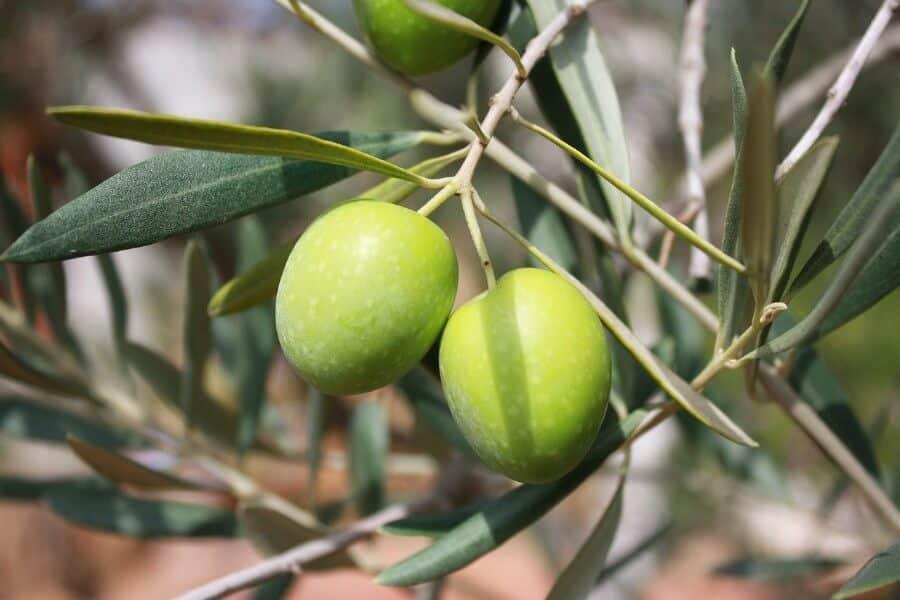olivenblatt-tee