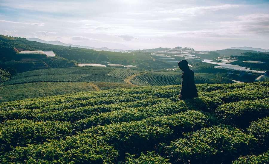 schwarzer-tee-plantage