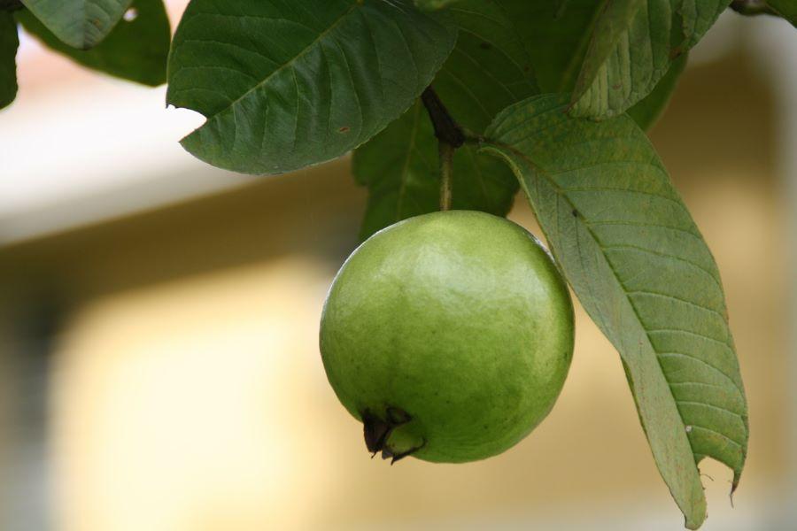 guavetee-gegen-haarausfall