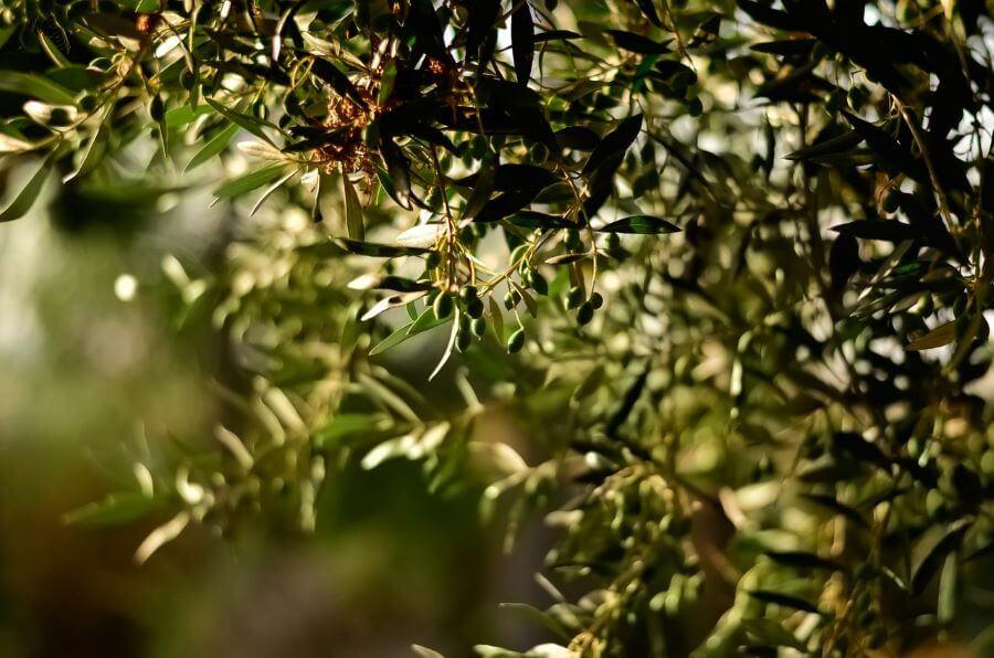 olivenblaettertee-gegen-entzuendungen