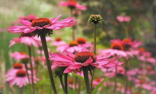 Echinacea Tee: Wirkung, Zubereitung & Mehr
