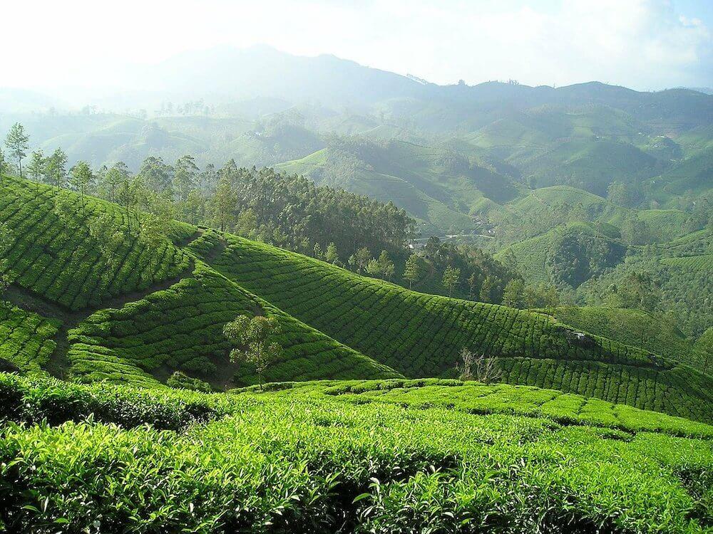 tee-ernte-perioden-teeplantagen