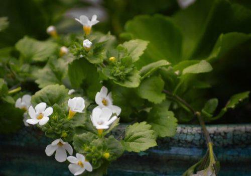 Brahmi Tee: Zubereitung, Wirkung & Mehr